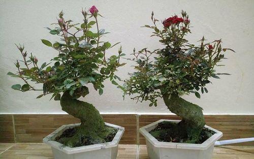 """Hoa hồng bonsai giá 1 triệu đồng/cây vẫn """"cháy hàng"""", không có cây để bán - Ảnh 3"""