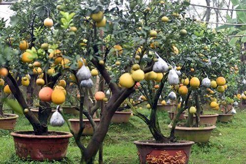 Lão nông thu về hàng trăm triệu nhờ ghép 10 loại quả dịp Tết - Ảnh 2