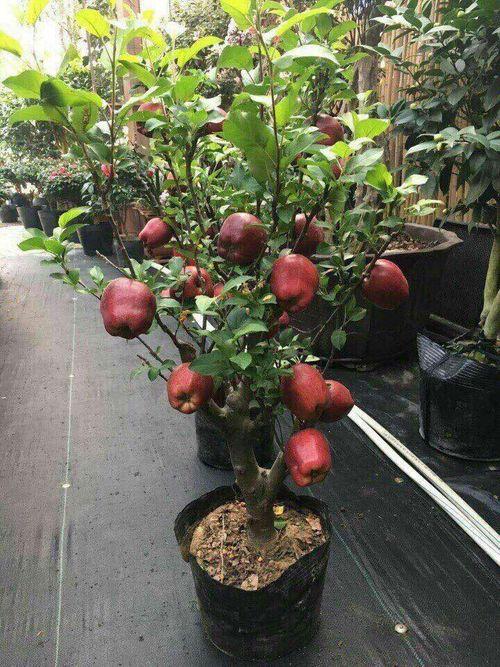 Tiết lộ thông tin về táo bonsai Trung Quốc: Quả gắn keo, không nên ăn - Ảnh 1