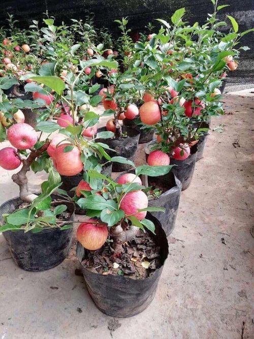 Tiết lộ thông tin về táo bonsai Trung Quốc: Quả gắn keo, không nên ăn - Ảnh 2