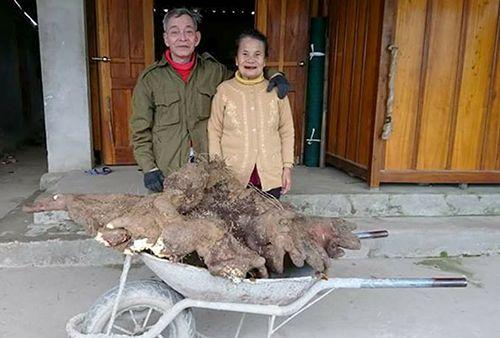Cụ ông đào được củ khoai nặng 37 kg, trả hơn 10 triệu không bán - Ảnh 1
