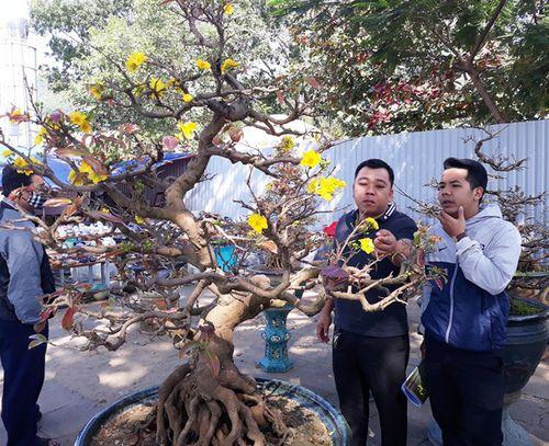 """Cận cảnh cây """"mai phu thê"""" giá hàng tỷ đồng - Ảnh 4"""