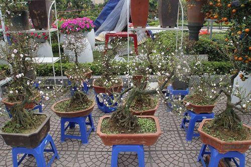 Chiêm ngưỡng cây mai cổ rêu phong có giá trăm triệu - Ảnh 3