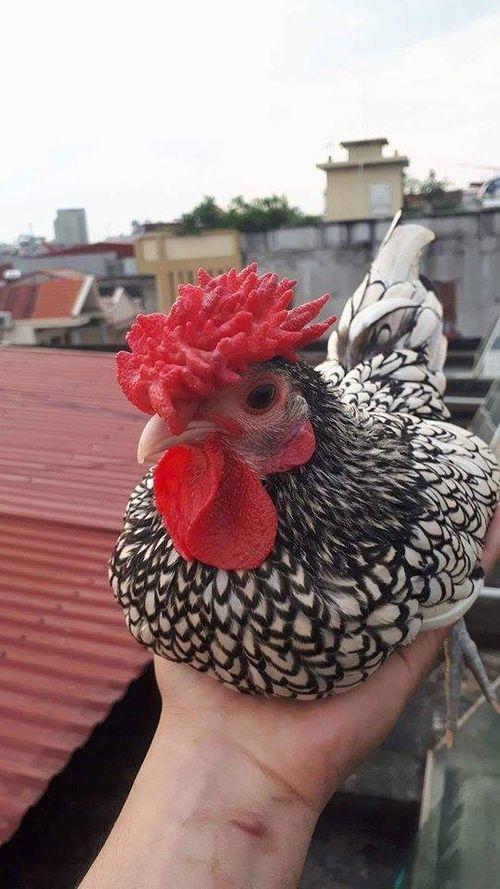 """Cận cảnh loại gà """" Mỹ kê vẩy cá"""", giá 5 triệu đồng/con  - Ảnh 2"""