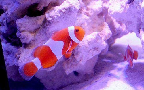 Những loại cá cảnh đắt nhất thế giới, giá cả trăm triệu đồng/con - Ảnh 1