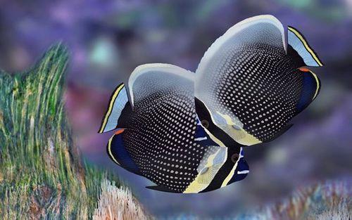 Những loại cá cảnh đắt nhất thế giới, giá cả trăm triệu đồng/con - Ảnh 2