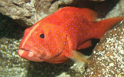 Những loại cá cảnh đắt nhất thế giới, giá cả trăm triệu đồng/con - Ảnh 3