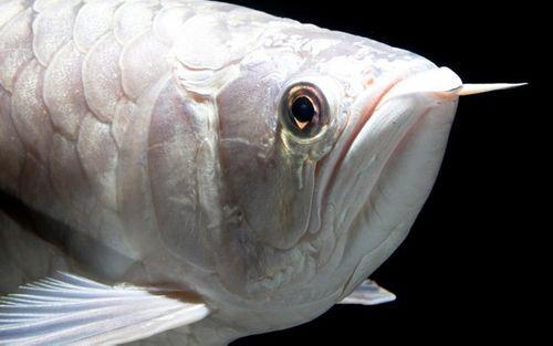 Những loại cá cảnh đắt nhất thế giới, giá cả trăm triệu đồng/con - Ảnh 5