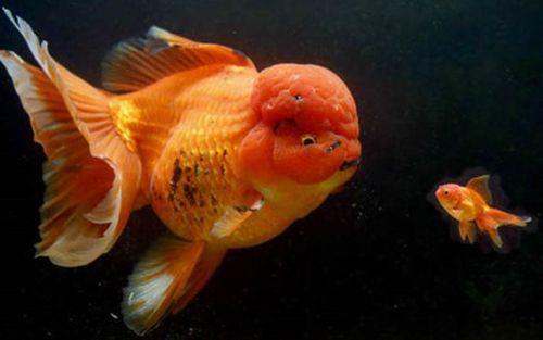 Những loại cá cảnh đắt nhất thế giới, giá cả trăm triệu đồng/con - Ảnh 6