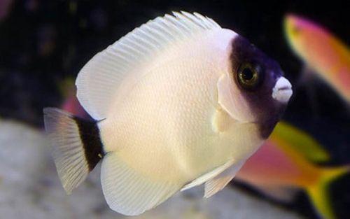 Những loại cá cảnh đắt nhất thế giới, giá cả trăm triệu đồng/con - Ảnh 7