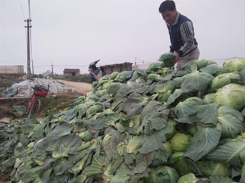 """Nông dân lại """"khóc"""" vì nông sản rớt giá thê thảm trong những ngày đầu năm - Ảnh 1"""