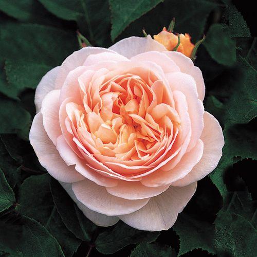 """""""Choáng váng"""" với giá tiền của 6 loài hoa đắt nhất thế giới  - Ảnh 2"""