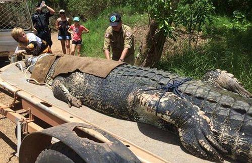 """Bắt được cá sấu """"khủng"""" 60 tuổi, nặng đến 600kg sau 8 năm tìm kiếm - Ảnh 1"""