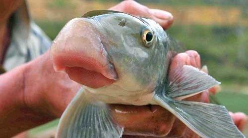 """Đai gia Việt """"bạo tay"""" chi cả chục triệu đồng một con cá Anh Vũ - Ảnh 1"""