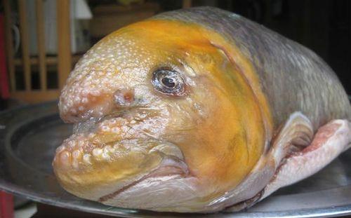 """Đai gia Việt """"bạo tay"""" chi cả chục triệu đồng một con cá Anh Vũ - Ảnh 2"""