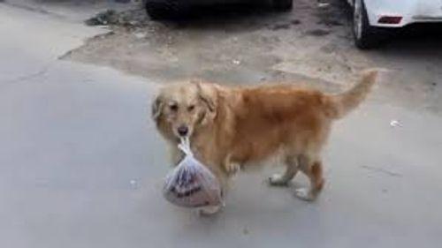 Video: Chú chó thông minh mang giúp chủ nhân 3 kg thịt về nhà - Ảnh 1