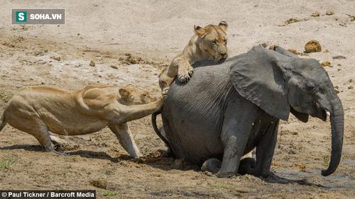 Cuộc chiến sinh tồn: Voi con bị hạ gục vì sư tử đực - Ảnh 1
