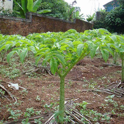 Giảm cân an toàn, hiệu quả nhờ cây khoai Nưa - Ảnh 1