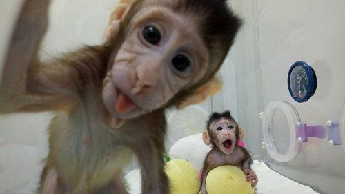 Nhân bản vô tính thành công ở khỉ, tiếp theo sẽ đến con người? - Ảnh 2
