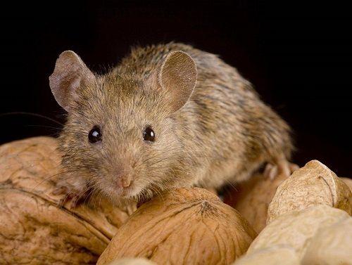 8 cảnh sát Argentina bị sa thải vì đổ cho chuột ăn hết nửa tấn cần sa  - Ảnh 1