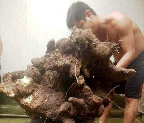 Kỳ lạ: Người dân đào được củ khoai vạc khổng lồ 73kg ở Hà Tĩnh - Ảnh 1