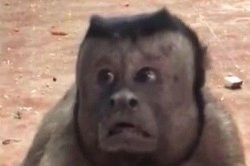 """Chú khỉ """"gây bão"""" với gương mặt hoang mang như """"mất sổ gạo"""" - Ảnh 1"""