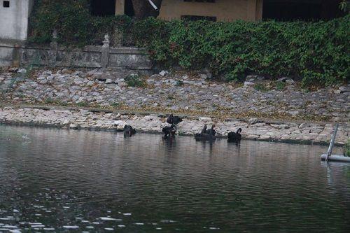 Một con thiên nga đen ở hồ Thiền Quang đột nhiên bị mất tích - Ảnh 1
