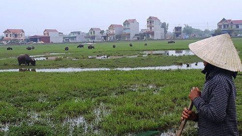 Chỉ có ở Thanh Hóa: Chăn trâu bò phải đóng phí cỏ - Ảnh 2