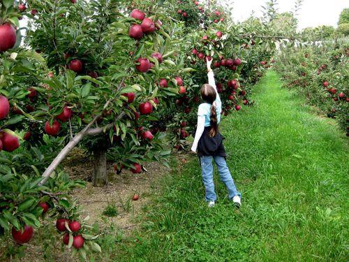 Cận cảnh vườn táo cổ 300 tuổi đẹp như thiên đường tại Mỹ - Ảnh 4