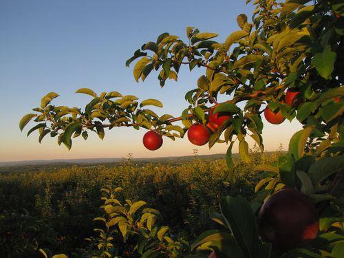 Cận cảnh vườn táo cổ 300 tuổi đẹp như thiên đường tại Mỹ - Ảnh 3