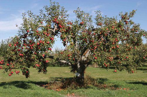 Cận cảnh vườn táo cổ 300 tuổi đẹp như thiên đường tại Mỹ - Ảnh 2
