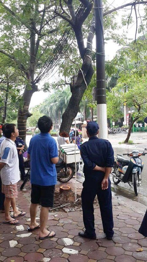 """Hà Nội: Nghi vấn cây sưa đỏ hơn 20 năm tuổi """"bay gốc"""" giữa đêm mưa bão - Ảnh 1"""