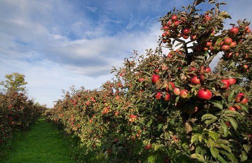 Cận cảnh vườn táo cổ 300 tuổi đẹp như thiên đường tại Mỹ - Ảnh 1