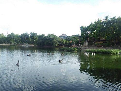 """Nắng nóng 40 độ C, thiên nga hồ Thiền Quang sống """"vật lộn"""" giữa trời thế nào? - Ảnh 1"""