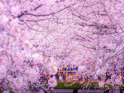 Lý thú ngắm hoa anh đào nghịch mùa ở Obara giữa thu Nhật Bản - Ảnh 3