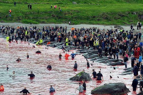 Vùng biển Đan Mạch lại nhuộm đỏ trong mùa thảm sát cả voi - Ảnh 3