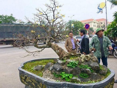 """""""Chấn động"""" thị trường cây cảnh chơi Tết với cây Hoàng Mai tiến vua giá 5 tỉ đồng - Ảnh 1"""