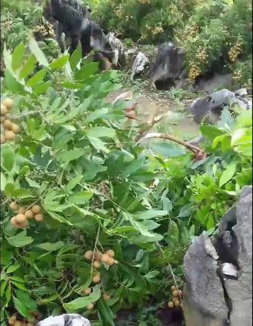 Chủ vườn đau đớn nhìn vườn nhãn sai trĩu quả sắp đến ngày thu hoạch bị kẻ gian phá nát - Ảnh 1