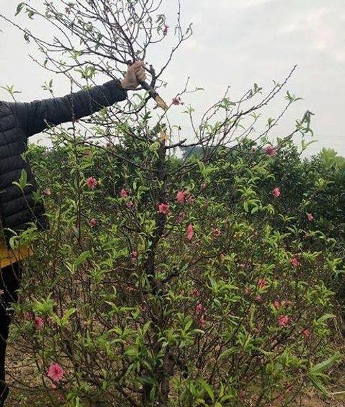 11 gia đình mất trắng gần 150 gốc đào bán Tết vì mải xem ĐT Việt Nam đá Yemen - Ảnh 2