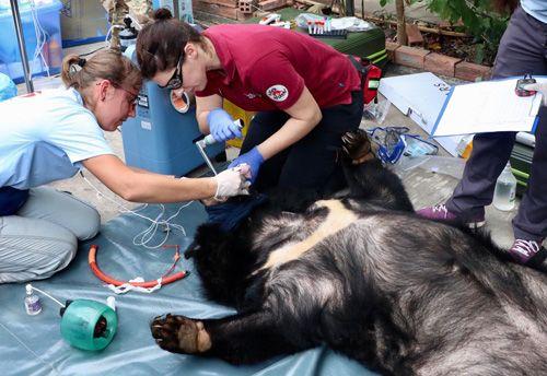 Giải cứu cặp đôi gấu nặng gần 2,5 tạ khỏi chuồng sắt 10m2 - Ảnh 1