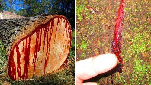"""Bí mật hòn đảo """"ngoài hành tinh"""" Socotra và loài cây """"chảy máu"""" - Ảnh 4"""