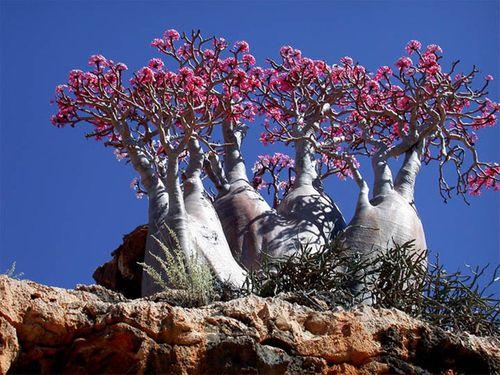 """Bí mật hòn đảo """"ngoài hành tinh"""" Socotra và loài cây """"chảy máu"""" - Ảnh 6"""