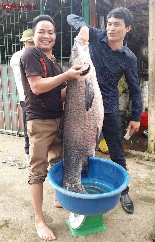 """Cận cảnh con cá trắm đen """"khủng"""" dài gần 1 mét, nặng hơn 33 cân sa lướt ngư dân  - Ảnh 1"""