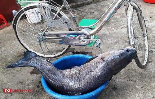 """Cận cảnh con cá trắm đen """"khủng"""" dài gần 1 mét, nặng hơn 33 cân sa lướt ngư dân  - Ảnh 3"""