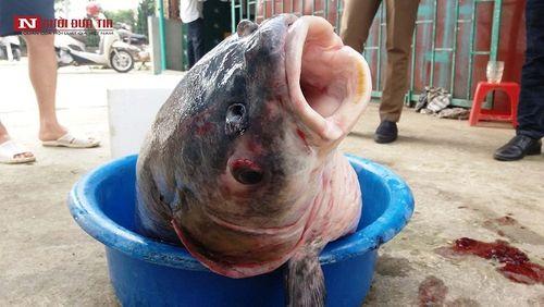 """Cận cảnh con cá trắm đen """"khủng"""" dài gần 1 mét, nặng hơn 33 cân sa lướt ngư dân  - Ảnh 4"""