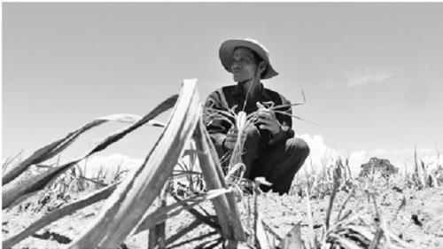 Đắng chát mía Ninh Thuận, nông dân cầm dao đằng lưỡi - Ảnh 1