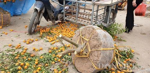 Chiều 29 Tết, người dân tự tay chặt phá đào, quất vì bị ép giá quá rẻ - Ảnh 2