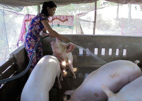 Cà Mau: Xuất hiện ổ dịch lở mồm long móng trên lợn tại một lò giết mổ - Ảnh 1