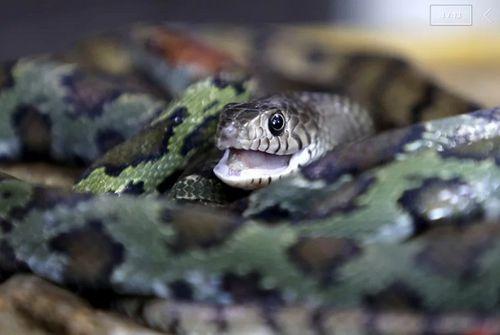 Rùng mình với ngôi làng nuôi hàng nghìn đàn rắn trong suốt 40 năm - Ảnh 1