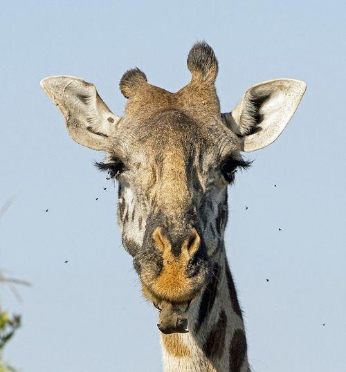 Chùm ảnh: Hươu cao cổ đánh răng sạch như nha khoa chuyên nghiệp - Ảnh 5